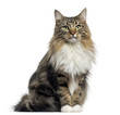 Front view of a Norwegian Forest cat sitting, looking at the camera, isolated on white