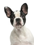 French bulldog puppy, 4 months old, isolated on white