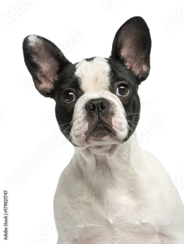 Foto op Aluminium Franse bulldog French bulldog puppy, 4 months old, isolated on white