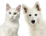 Close-up of a Swiss Shepherd Dog and Main coon looking at the ca - 179821960
