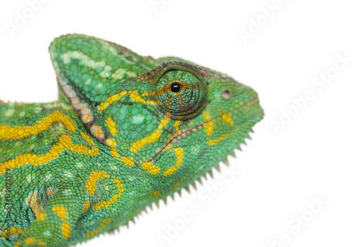 Headshot Jemeński kameleon - Chamaeleo calyptratus - odizolowywający na bielu