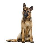 German Shepherd Dog (1 year old)