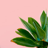 Outdoors. Minimal design. Green plant on a pink wall. Fashion print Tropical mood - 179829179