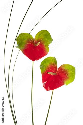 flores anturium aisladas