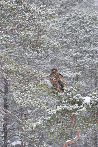 Fotobehang Eagle Eagle on tree at snowfall. Eagle in snowfall. Eagle in winter.