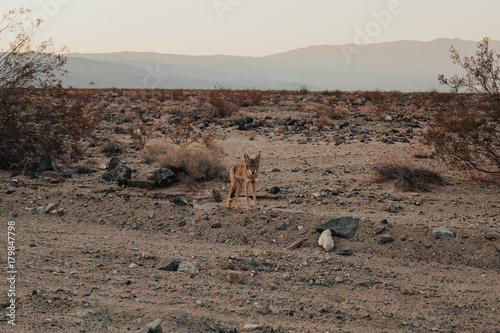 Foto op Plexiglas Cappuccino Coyote at Death Valley National Park