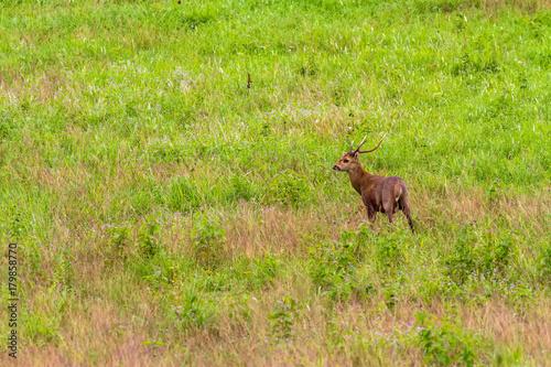 Hog deer (Hyelaphus porcinus)  stand alone on green grass at Phu Khieo Wildlife Sanctuary плакат