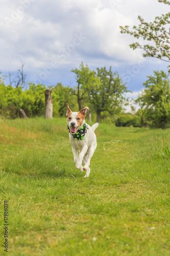 Fotobehang Jacht Parson Russell Terrier im Laufen aus Bodenperspektive fotografiert