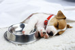 jack russel puppy with steel bowl