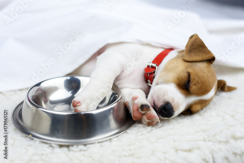 jack russel puppy with steel bowl Poster