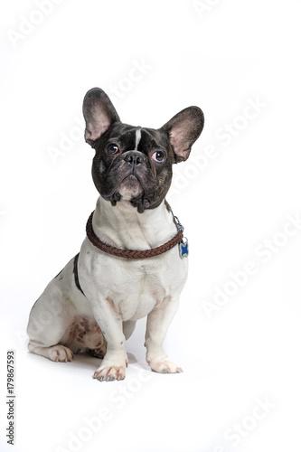 Foto op Plexiglas Franse bulldog Französische Bulldogge