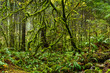 Mossy tree in rainforest in Lynn Canyon Park, Vancouver, British Columbia, Canada