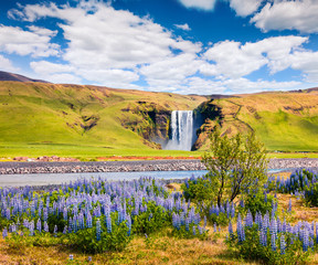 Blooming lupine flowers near amazing Skogafoss waterfall in south Iceland, Europe