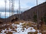 Ginące górskie lasy świerkowe w Tatrach