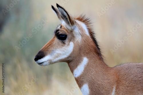 Fotobehang Hert Baby Antelope
