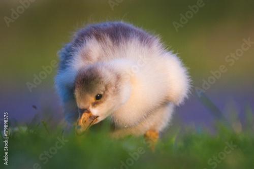 Poster Fluffy Goose