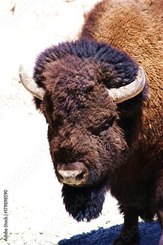 Aluminium Bison Bison Portrait