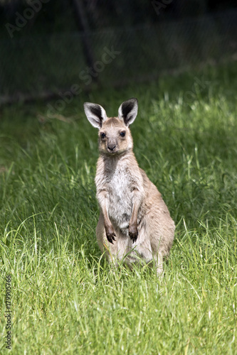 Plexiglas Kangoeroe eastern grey joey kangaroo
