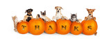 Cats and Dogs Over Thanksgiving Pumpkins