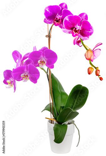 Papiers peints Azalea orchidée fuschia, fond blanc
