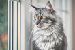 Vintage style photo from a beautiful Maine Coon Cat, with fine film grain effect