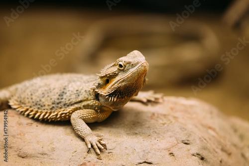 Plagát Picture of flat-tailed desert horned lizard resting on rock