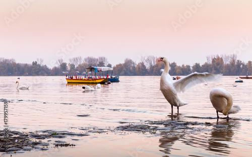 Fotobehang Zwaan Beautiful white swans on Danube river in sunset