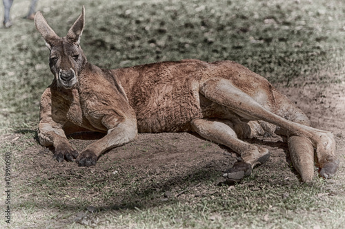 Plexiglas Kangoeroe natuarl park close up of the kangaroo near bush