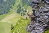 adult alpine capra ibex capricorn standing on rock with valley view - 179962132