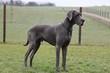 Portrait einer deutschen Dogge im Park