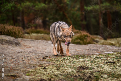 Fotobehang Lion The gray wolf or grey wolf (Canis lupus) standing on a rock