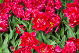 Group of red tulips in the park.