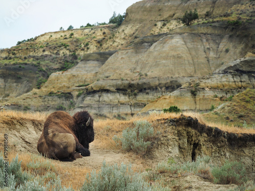 Plexiglas Bison Male Buffalo Resting in the Unique Landscape of North Dakota