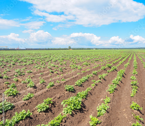 Young Potatoes Growing In The Field