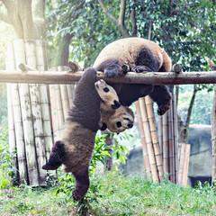 Pair of Giant Panda.