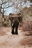 独自散步在野外小路的大象
