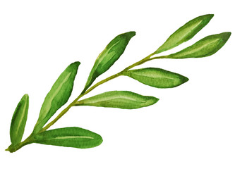 olive watercolor illustration © Anna