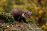 Pine marten rare species in natural habitat (Martes martes)