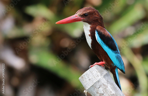 Fotobehang Natuur White Throated Kingfisher