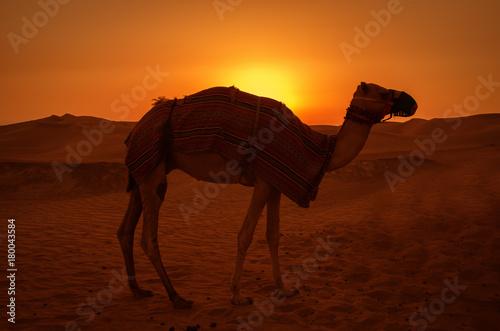 Papiers peints Marron Camel in the desert during sunset.