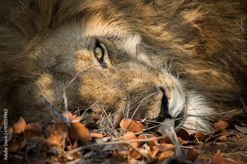 Fotobehang Lion lion_8