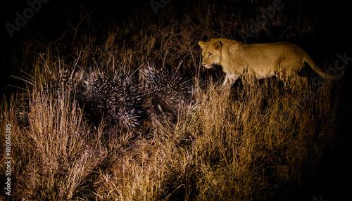 Fotobehang Lion lion_15