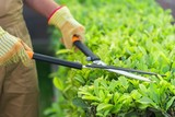 Closeup of a Gardener Using a Manual Hedge Trimmer - 180064349
