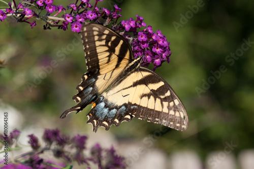Fotobehang Vlinder Buttlefly
