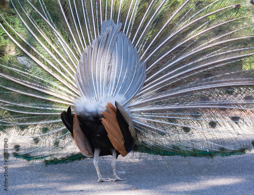 Fotobehang Pauw Peacock Backside