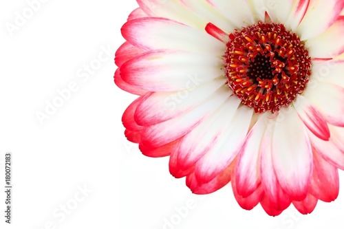 Fotobehang Gerbera Red and White Two Tone Color Gerbera Flower on White Background