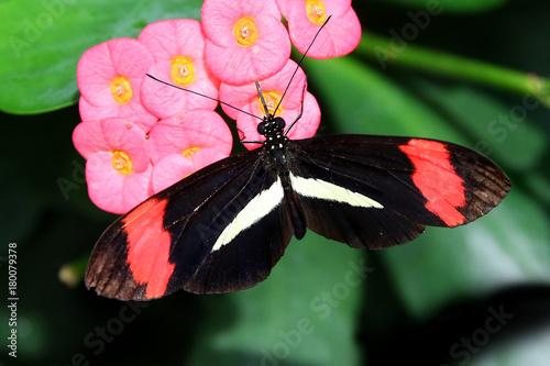 Fotobehang Vlinder Butterfly Large common Postman Heliconius Melpomene Rosina