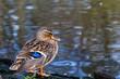 Mallard Duck standing by the water
