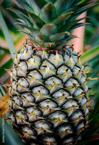 Fotobehang Thailand Pineapple fruit in farm
