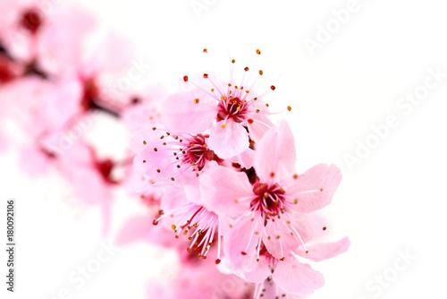 Aluminium Kersen Cherry blossoms, isolated on white.